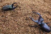 成虫用埋め込みマット クワガタ又はカブトの成虫用通常飼育時昆虫マット_イメージ
