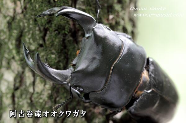 菌糸ビン作出阿古谷産オオクワガタ ♂80mm
