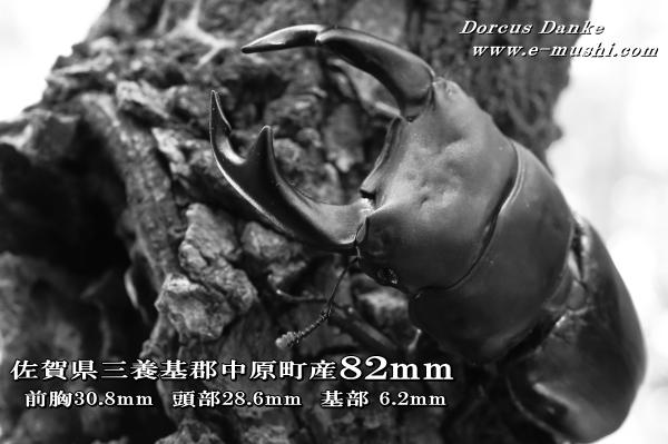 菌糸ビン作出佐賀県産オオクワガタ ♂82mm