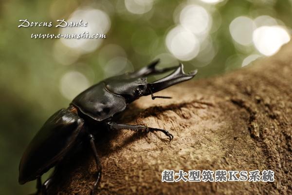 超大型筑紫KS系統オオクワガタ幼虫