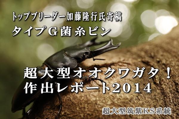 超大型オオクワガタ作出レポート2014