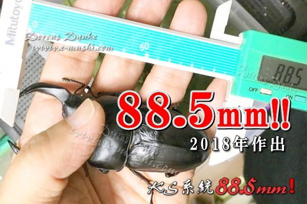 オオクワガタ90mm