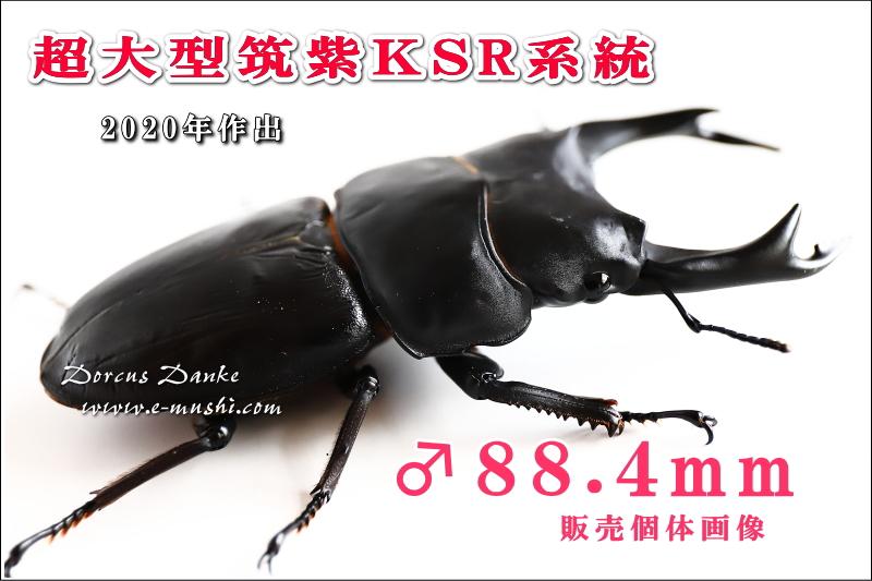 超大型筑紫KSR系統オオクワガタ成虫