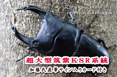 超大型筑紫KS系統オオクワガタ成虫_イメージ