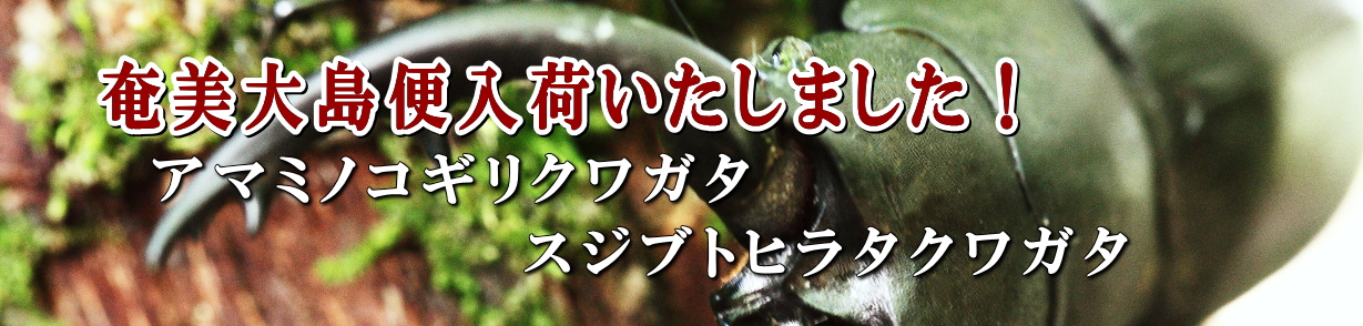 奄美大島のクワガタ