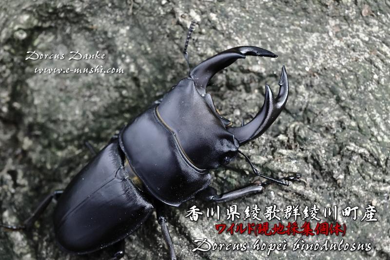 香川県綾歌群綾川町産オオクワガタ_イメージ3