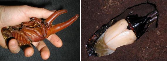 ヘラクレスオオカブト 蛹&羽化直後の様子
