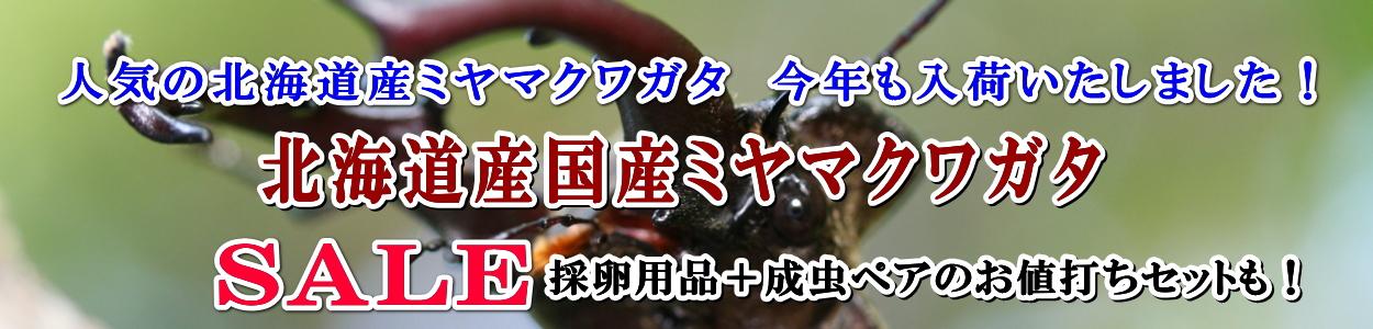 国産カブトムシ