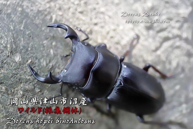 岡山県津山市産オオクワガタ 野外採集個体