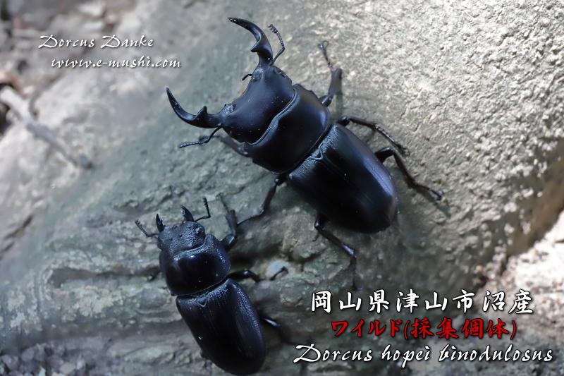 岡山県津山産オオクワガタ 野外採集個体