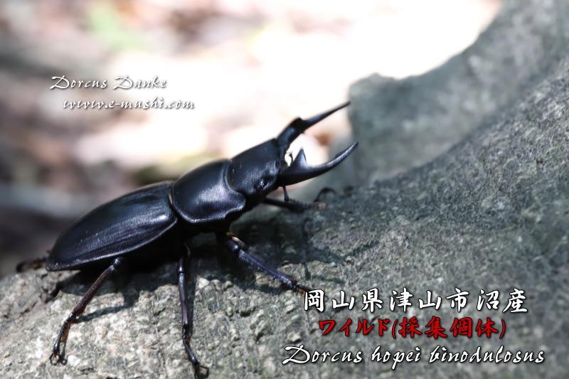 岡山県津山市沼産オオクワガタ 野外採集個体