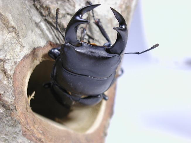 クワガタ カブト 洞 インテリア 木 ★インセクトシェルター
