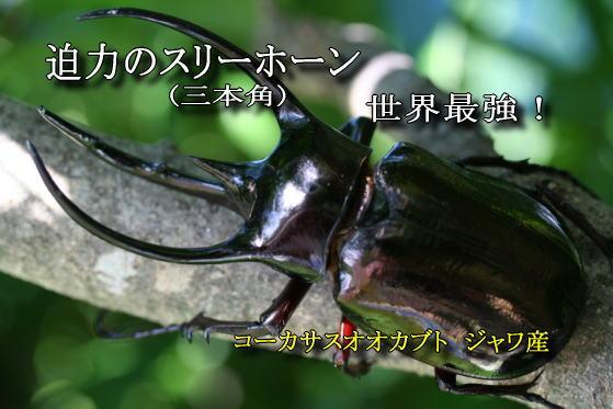 コーカサス オオカブト 幼虫