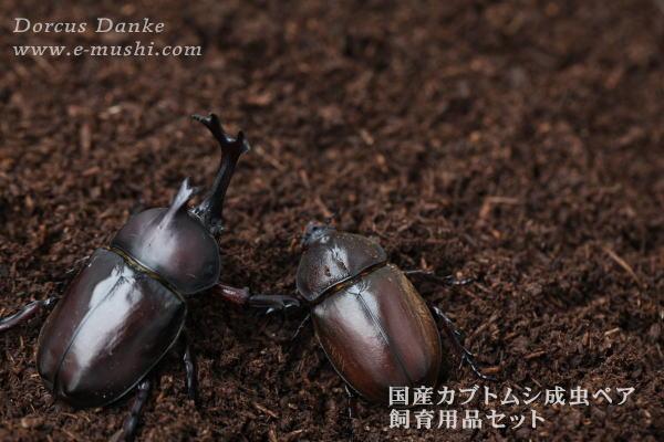 【特別価格】カブトムシ成虫ペア 採卵飼育セット_イメージ