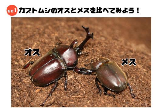 カブトムシのオスとメスを比べてみよう!