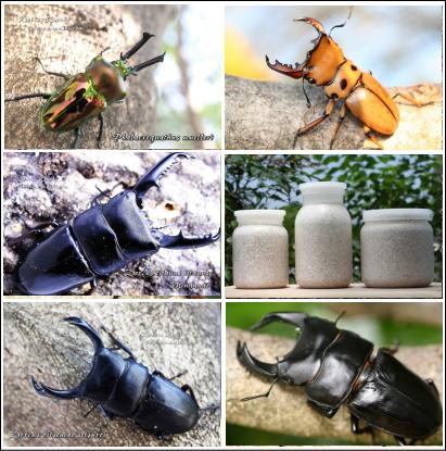 各種クワガタ幼虫+タイプG菌糸瓶セット