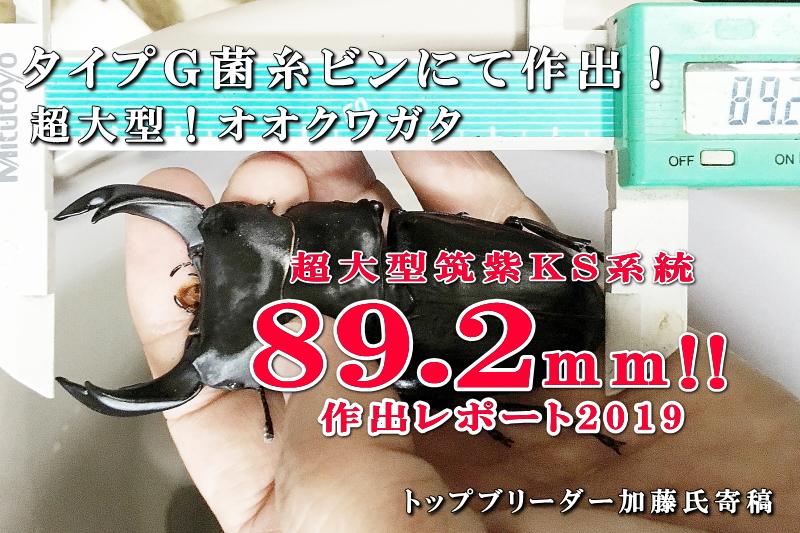 菌糸ビン飼育の国産オオクワ89mm作出レポート
