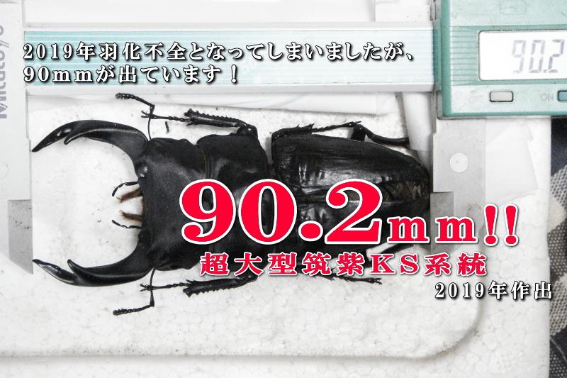 菌糸ビン飼育の国産オオクワ90mm作出レポート