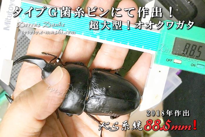 菌糸瓶 菌糸ビン オオクワガタ90mm