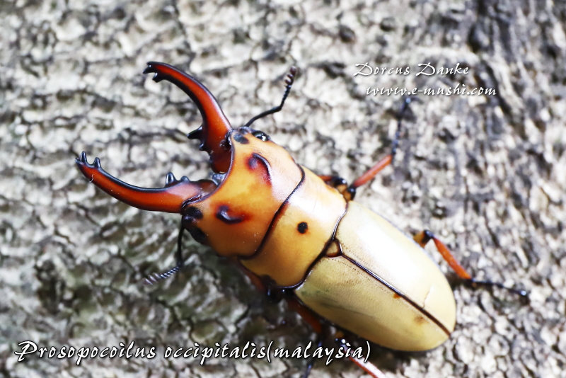 オキピタリスノコギリクワガタ マレーシア産