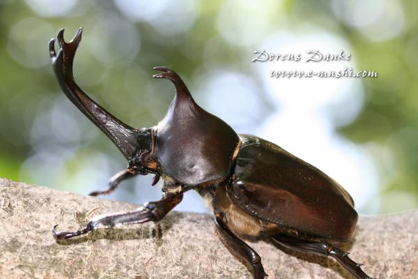 国産カブトムシ幼虫